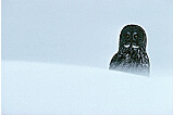 Great Gray Owl in Winter