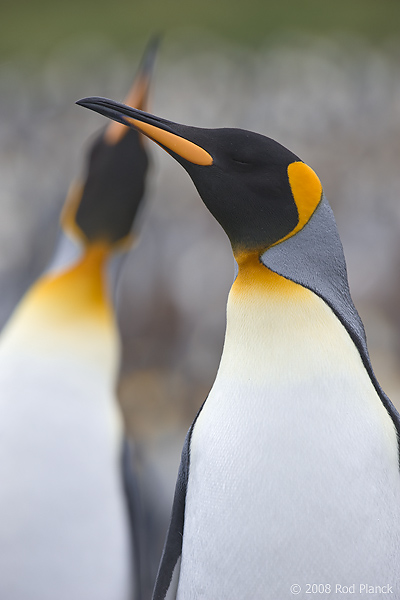 King Penguins, (Aptenodytes patagonicus), Gold Harbour, South Georgia Island