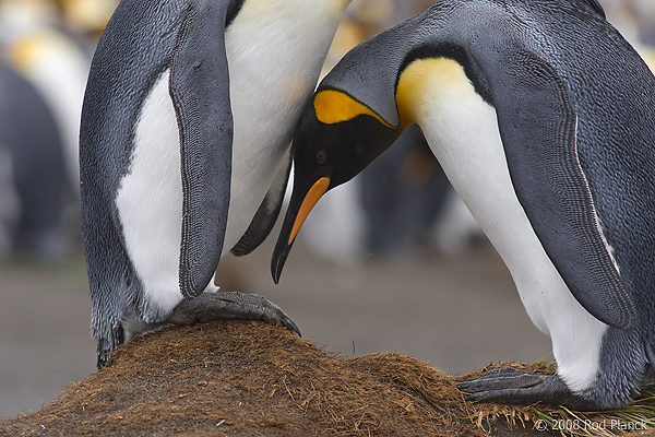 King Penguins, Courting, (Aptenodytes patagonicus), Gold Harbour, South Georgia