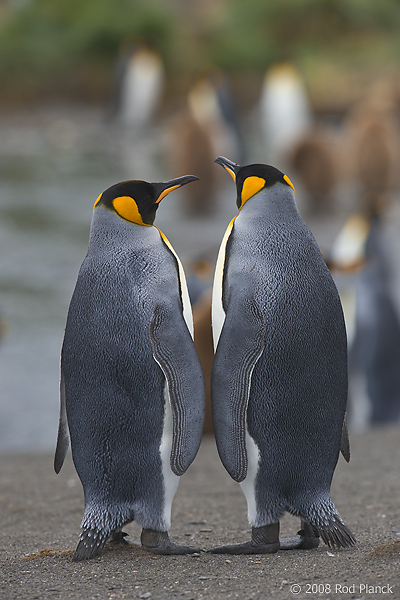 King Penguins, (Aptenodytes patagonicus), Gold Harbour, South Georgia