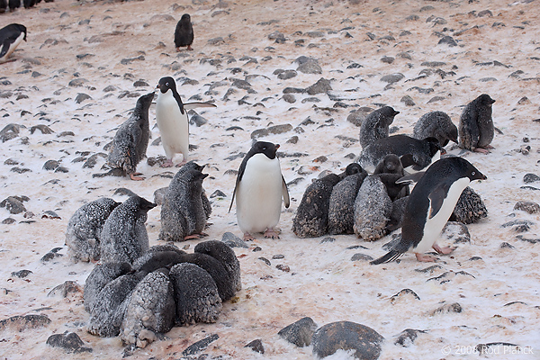 Adelie Penguin Colony, Chicks in Creche, (Pygosceliis adeliae), Paulet Island, Antarctic Peninsula