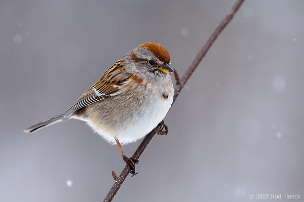 American Tree Sparrow, (Spizella arborea) Spring, Michigan