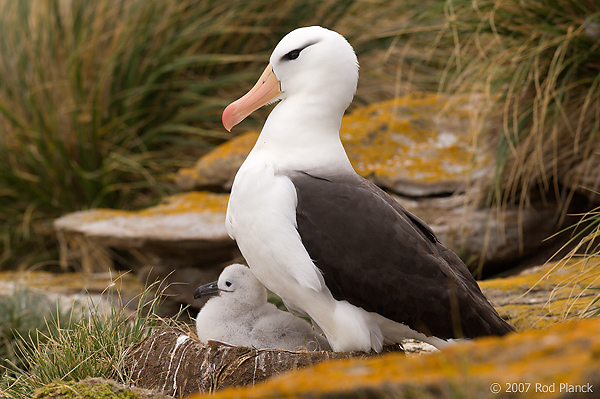 Black-browed Albatross, Adult with Chick (Diomedea melanophris), New Island, Falkland Island