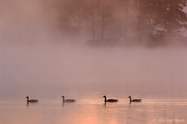 Canada Geese in Fog, Dawn, (Branta canadensis), Summer, Northern Michigan