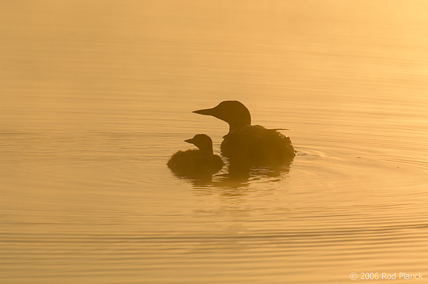 Common Loon, Adult with Chick, (Gavia immer), Summer, Upper Peninsula, Michigan