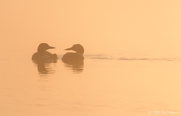 Common Loon, Adults with Chick at Dawn, (Gavia immer), Summer, Upper Peninsula, Michigan