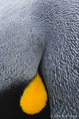 King Penguin, Detail of Head and Neck