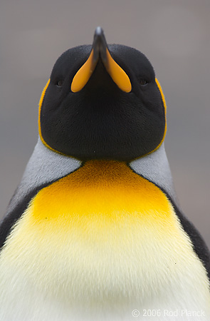 King Penguin, Head Detail, Adult
