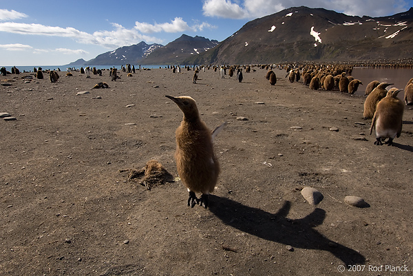 King Penguin Chicks Near Creche, St Andrews Bay, South Georgia Island