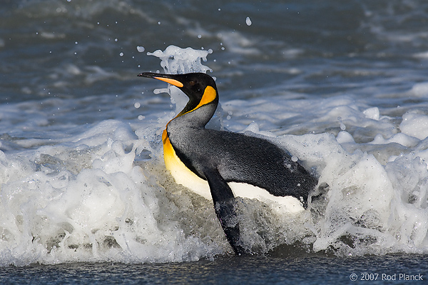 King Penguin in Surf (Aptenodytes patagonicus), St Andrews, South Georgia Island