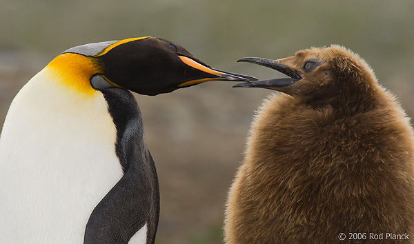 King Penguin, Adult with Begging Chick