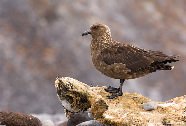 South Polar Skua, Adult on Mummified Crabeater Seal