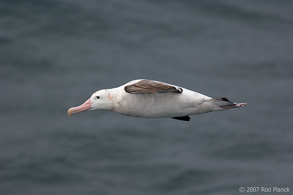 Wandering Albatross, In Flight (Diomedea exulans), Near South Georgia Island