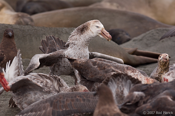 Giant Petrels Fighting Over Carcass, St Andrews Bay, South Georgia Island