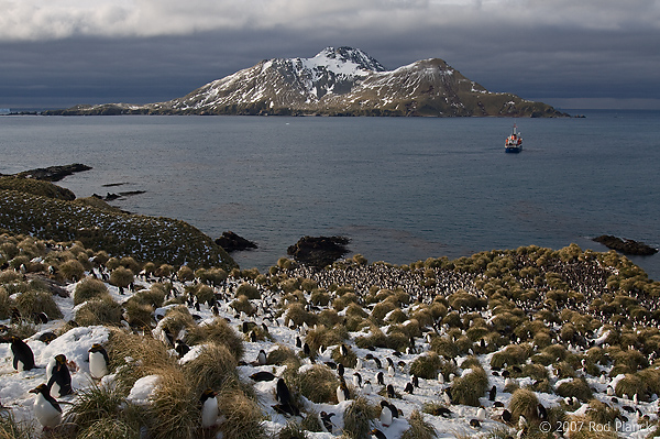 Macaroni Penguin Colony, (Eudyptes chrysolophus), Cooper Bay, South Georgia Island