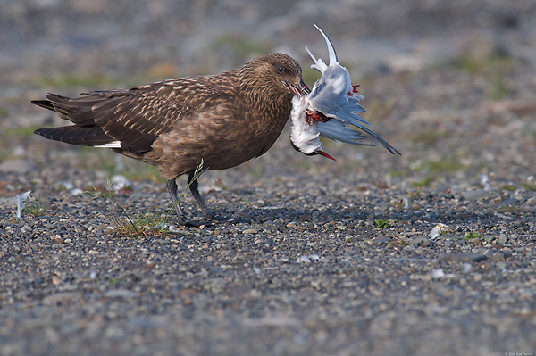 Great Skua, (Stercorarius skua), with Arctic Tern, Iceland