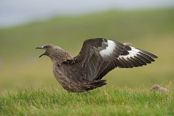 Great Skua with Chick, (Stercorarius skua), Iceland