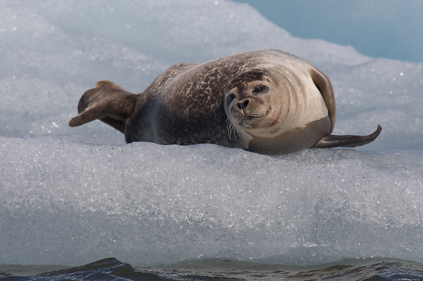 Harbour Seal, Iceland