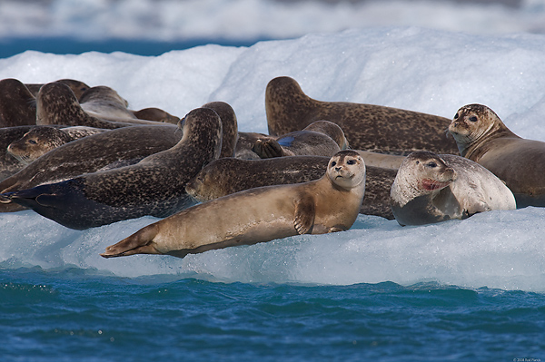 Harbour Seals, Iceland