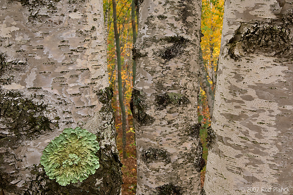 Birch Trees; Autumn; Alger County; Michigan; Forest