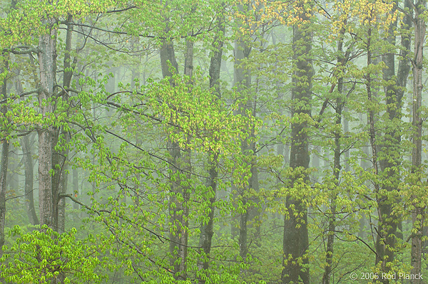 Deciduous Hardwood Forest During Rain, Spring, Pictured Rocks National Lakeshore, Michigan