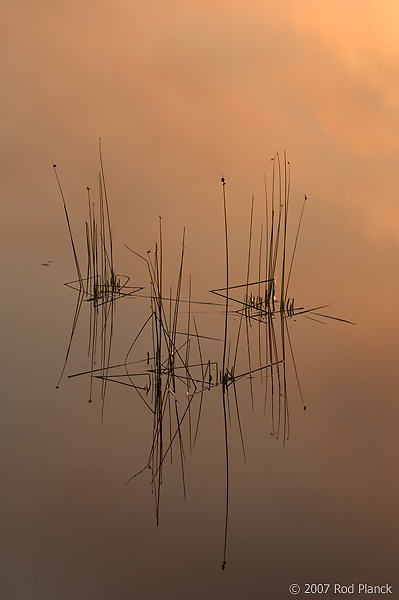 Reeds in Water, Summer, Northern Michigan