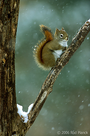 Red Squirrel, Winter