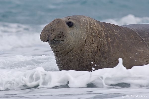 Southern Elephant Seal, Male (Mirounga leonina), Salisbury Plain, South Georgia Island