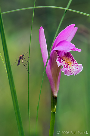Arethusa Orchid and Mosquito, Summer, Michigan