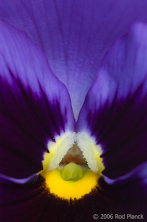 Pansy, Domestic Flower, Close-up, Summer