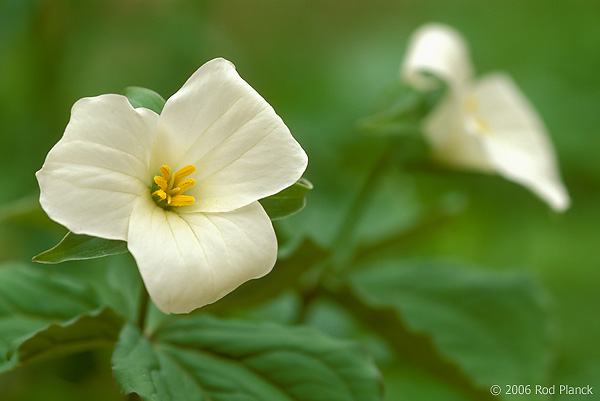 Large-flowered Trillium, Spring
