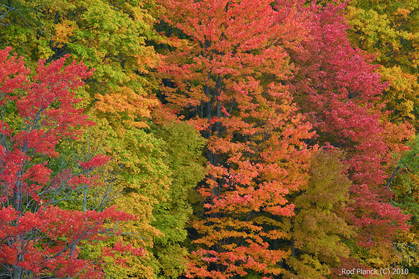 Beech Maple Forest ~ Beech and maple forest autumn northern michigan rod
