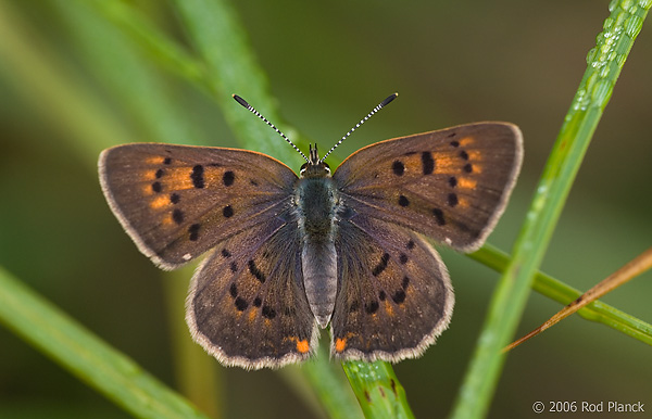Dorcus Copper Butterfly, (Lycaena dorcus), Male, Summer, Michigan