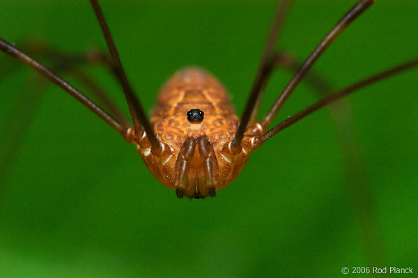 Harvestmen or Daddy-long-legs, Summer