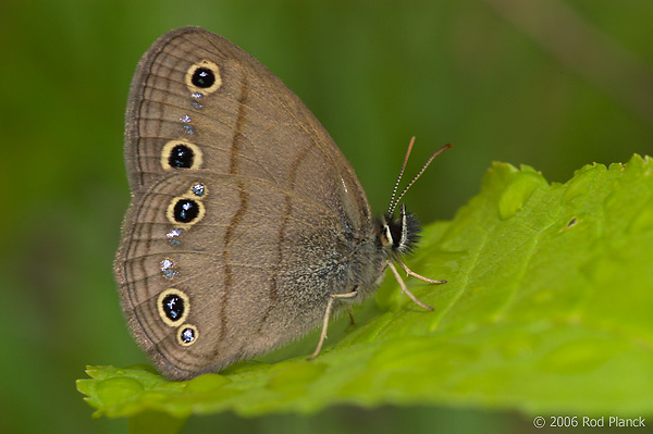 Little Wood Satyr Butterfly, Summer