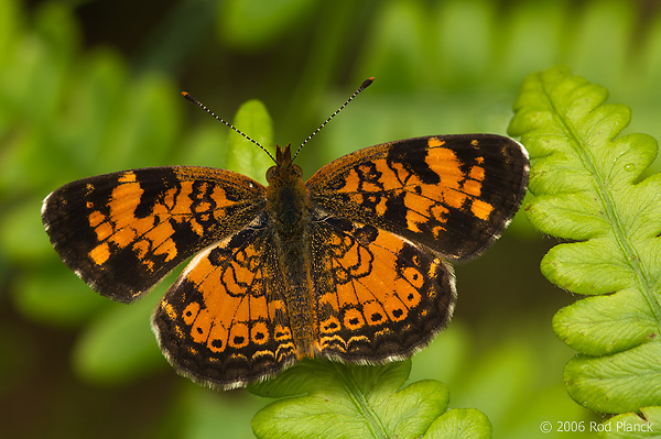 Northern Pearl Crescent Butterfly, Male, (Phyciodes selenis), Summer, Michigan
