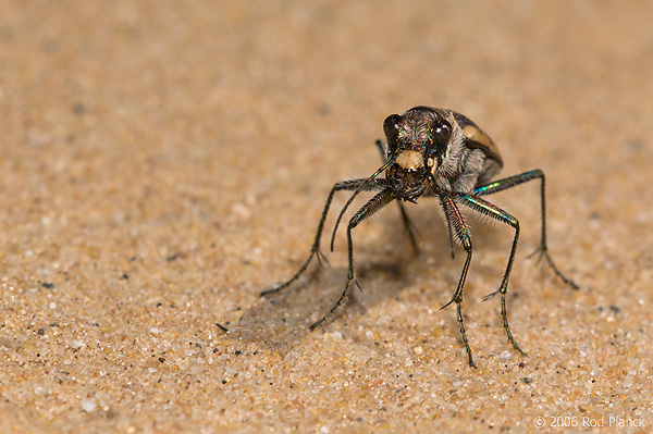 Tiger Beetle in Sand Blow, Summer