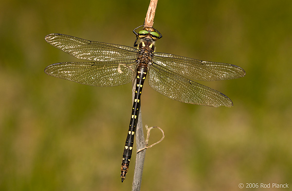 Twin-spotted Spiketail Dragonfly, Male, (Cordulegaster maculata), Summer, Michigan