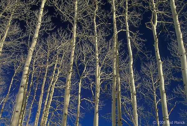 Aspen Trees Against Blue Sky, Dixie National Forest, Utah