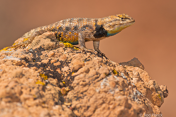 Desert Spiny Lizard, Capitol Reef National Park, UT