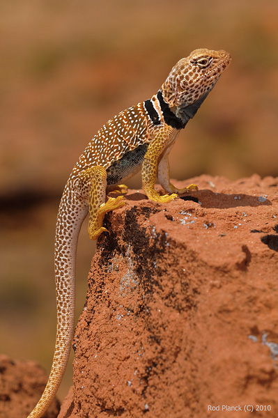Great Basin Collared Lizard, (Crotaphytus bicinctores), Glen Canyon National Recreation Area, Utah