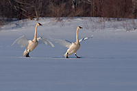 Trumpeter Swan, Adults, (Cygnus buccinator), Spring, Northern Michigan