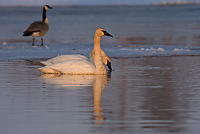 Trumpeter Swan, Adult, (Cygnus buccinator), Spring, Northern Michigan