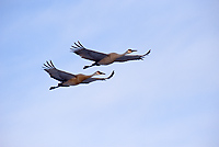 Sandhill Cranes in Flight, (Grus canadensis), Michigan