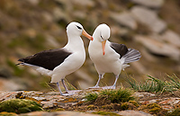 Black-browed Albatross, Adults Courting (Diomedea melanophris), New Island, Falkland Islands