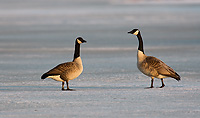Canada Geese, (Branta canadensis), Spring, SNWR, Michigan