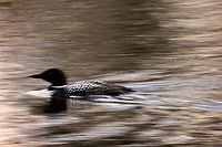 Common Loon, Adult, (Gavia immer), Spring, Upper Peninsula, Michigan