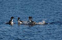 Common Loons, Adult, (Gavia immer), Spring, Upper Peninsula, Michigan