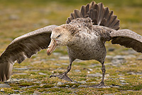 Northern Giant Petrel Displaying Aggressive Behavior