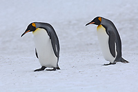 King Penguins, (Aptenodytes patagonicus), Right Whale Bay, South Georgia Island